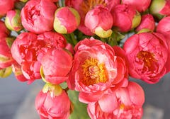Several vibrant red peony buds; a pair are nearly open