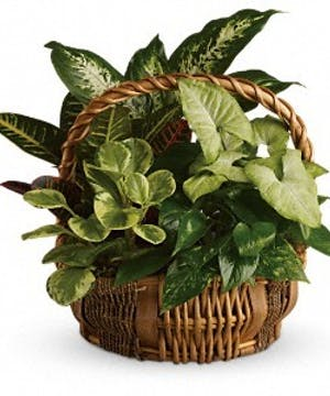 Green plants of all kinds in a wicker handbasket.