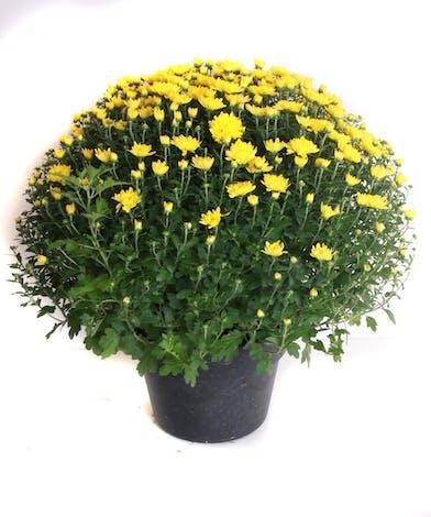 Yellow chrysanthemum plant.