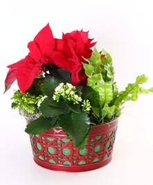 A holiday planter filled with lush green and red plants.