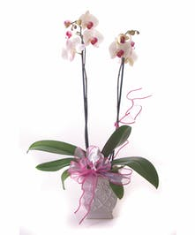 Sweetheart Orchid