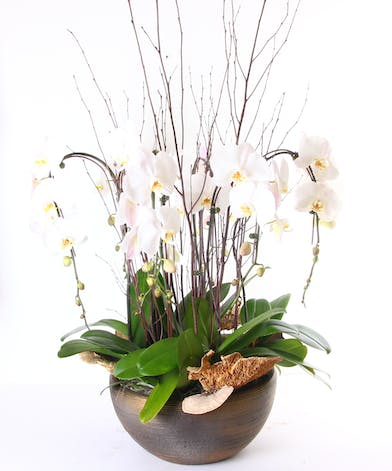 White phalaenopsis orchid plants in a container with premium trim