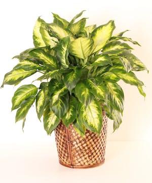 8 inch Green Floor Plant