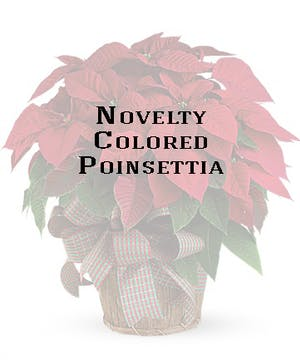 Poinsettia plants in a variety of novelty colors.