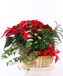 Wicker basket with a red poinsettia, white kalanchoe and mixed green seasonal plants.