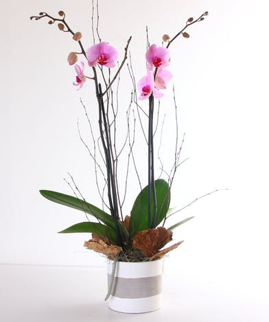 Pink orchid plant in a pot.
