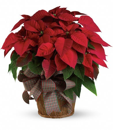 Red poinsettia plant in a basket tied with holiday ribbon
