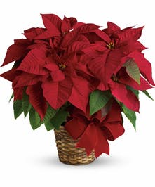 Red poinsettia plant in a basket tied with holiday ribbon.