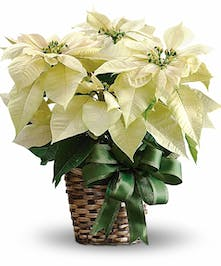 White poinsettia plant in a woven basket with a holiday bow.