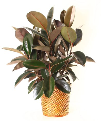 A potted rubber tree with large, glossy leaves