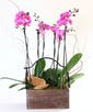 Triple Orchid
